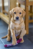 Butter Wouldn't Melt in his Mouth (GraemeR1) Tags: sweet cute dog puppy retriever labrador