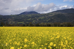 Alexander's Gold (Patrick Dirden) Tags: flowers mustard mustardflowers yellow wildflowers green spring alexandervalley geyserpeak mayacamamountains clouds jimtown jimtownca sonomacounty northbay northcoast northerncalifornia california