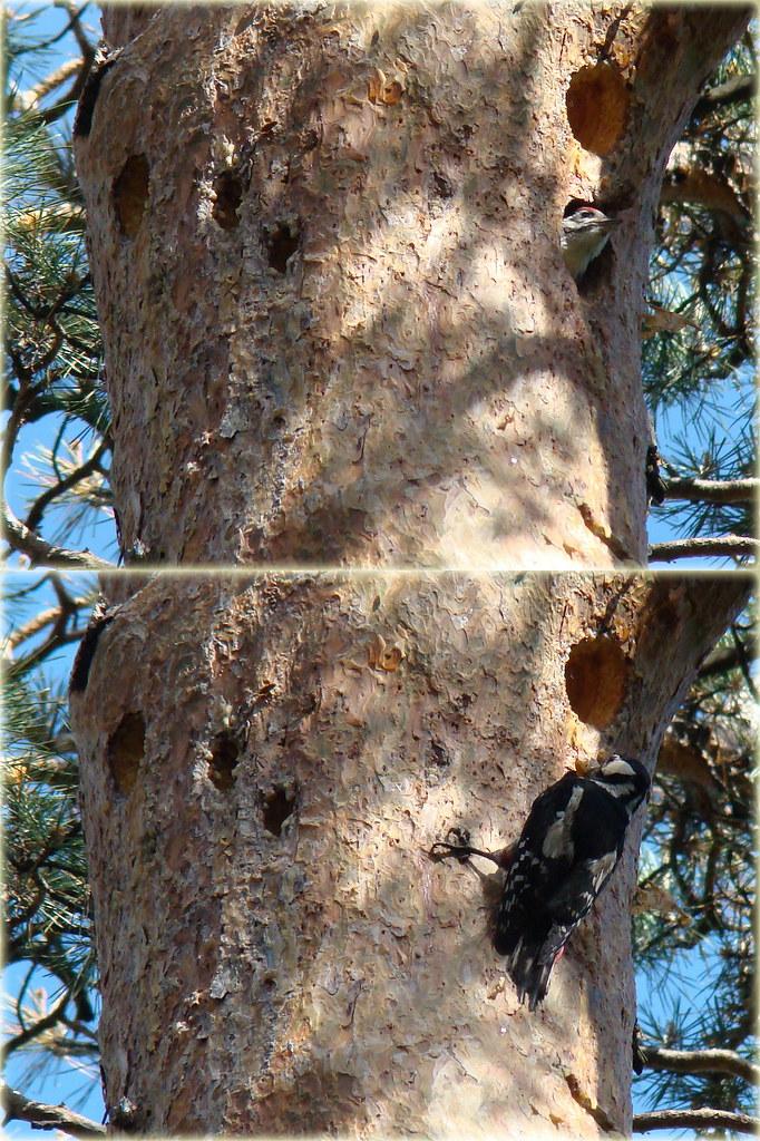 фото: Птенец дятла и дятлиха