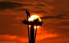 Spring Fever (danny.mayan1386) Tags: ospreys sunrise portmahon