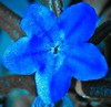 """Don't be Blue"" HMM (seanwalsh4) Tags: dontbeblue macro 5mm flower tiny soblue love romance sad unhappy blues natural flora blueangel blueness porcelain blooms forgetmenot bluebird bluetiful beautiful macromondays theblues"