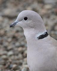 Eurasian Collared Dove Portrait (jlcummins - Washington State) Tags: bird home wildlife fauna yakimacounty washingtonstate eurasiancollareddove streptopeliadecaocto