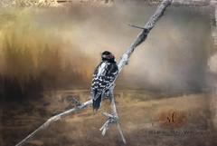 Today's Visitor (Rrea Brown (Photography)) Tags: texture textureart jaijohnsontextures texturesbytóta digitalart birds winter woodpecker downywoodpecker rreabrownphotography