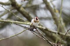 Stieglitz / Goldfinch (reipa59) Tags: pfalz vögel birds rheinlandpfalz ransweiler natur vogel bird baum stieglitz nature goldfinch ast zweige