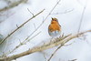 Winter Robin (www.andystuthridgenatureimages.co.uk) Tags: robin redbreast thrush singing song winter branch hedge devon
