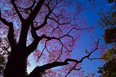 Tree Branches (Shojib77) Tags: tree branches branch treebranches botanicalgardendhaka blue bluesky purple mirpur winter black nikon nikond5300 nikon1855mm lightroom