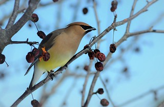 Cedar Waxwing by Jackie B. Elmore 3-5-2014 Lincoln Co. KY