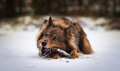Sultan (bramtop_1990) Tags: sultan dog huisdier hond hund laying down chilling branch tak eating chewing outside forest snow sneeuw schnee ears eyes teeth paw tamron 70200 f28 vc nikon d610 ff sheltie eurasier x nijmegen
