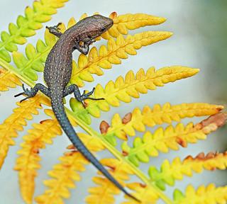 A Baby Common Lizard. On Bracken.