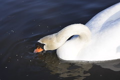 _DSC8211 (The Unofficial Photographer (CFB)) Tags: bushyparkroyalparks londonlife feathredfriends sunrise deardiarymar2018 swan swans featheredfriends