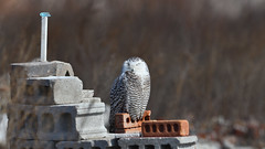 DSC_0087_edit (Hanzy2012) Tags: toronto ontario wildlife canada bird nikon d500 afsnikkor500mmf4difedii owl snowyowl buboscandiacus nature wild
