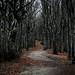 Campigna Wood