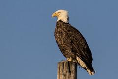 Bald Eagle looks to the setting sun at Port Mahon...6O3A9048CR2A (dklaughman) Tags: portmahon delaware de baldeagle eagle