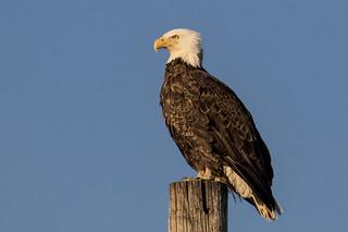 Bald Eagle looks to the setting sun at Port Mahon...6O3A9048CR2A