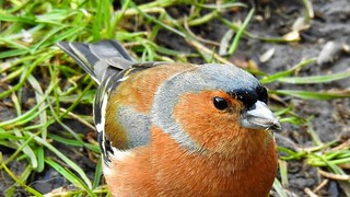 Chaffinch portrait