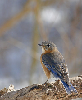 Eastern-Bluebird-313w