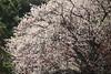 Ume (Teruhide Tomori) Tags: kyoto japan japon spring flower ume plum tree kyotoimperialpark blossom 春 京都 日本 京都御苑 梅 樹木