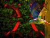 Volando bajo (seguicollar) Tags: pájaro ave volando rojo verde red green amarillo yellow alas imagencreativa photomanipulación art arte artecreativo artedigital virginiaseguí