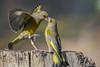 Greenfinches fighting. (Ciminus) Tags: verdoni naturesubjects aves ornitology nature ciminus birds verdone ciminodelbufalo garden greenfinch uccelli greenfinches verdierdeurope nikond500 oiseaux verdonecomune afsnikkor300mmf28gedvrii wildlife ornitologia chlorischloris coth coth5 specanimal