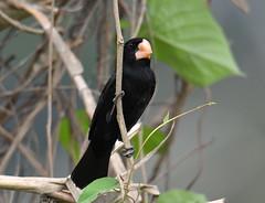 Nicaraguan Seed-Finch (Digital Plume Hunter) Tags: