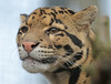 clouded leopard Ouwehand BB2A3109 (j.a.kok) Tags: panter panther luipaard leopard nevelpanter neofelisnebulosa cloudedleopard kat cat animal ouwehands mammal zoogdier dier azie asia