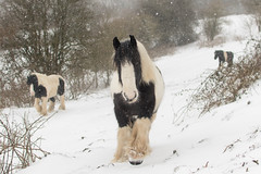 Three Irish Cob ponies walking in heavy snow (Ian Redding) Tags: england winter cobs walking horses following cold snow pony gypsy cob beautiful hardy animals british ponies pets farm irishcob horse uk snowing bath