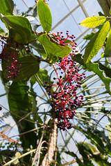IMG_9854 (jaglazier) Tags: 2018 31518 berries florida march marieselbybotanicalgardens medinilla melastomataceae museums philippines plants red sarasota usa copyright2018jamesaglazier cummingii flowers gardens purple
