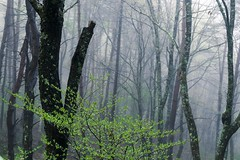 DSC07949 (tomoelwes) Tags: 長野県 信州 forest tree wood fog foggy sony zeiss variotessar