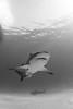 0M9A8594 B&W (PaoloLora) Tags: bahamas tiger beach tigerbeach bimini hammerhead bull reef lemon teeth fins white black blue diving dive scuba underwater canon 7d markii paolo lora paololora dolphin dream dolphindream