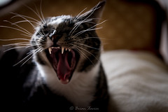 Scream (Brian Xavier) Tags: mrcat animal animals cat catwhiskers catyawning catsmeow catstongue cats creatures curledtongue goodtiming hisnameisperro housecat howling openmouth pet pets scream screaming singing teeth timingiseverything tongue whiskers wideopenmouth yawn yawning