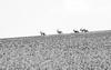 Oryxes (Mathijs Buijs) Tags: oryx oryxes oryges group herd hill blackandwhite sossusvlei desert namibia namib kalahari southern south west africa canon eos 7d antelope gemsbok