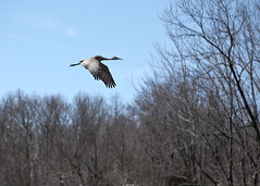 "Sandhill Crane 2 takes off 5 • <a style=""font-size:0.8em;"" href=""http://www.flickr.com/photos/30765416@N06/39079775880/"" target=""_blank"">View on Flickr</a>"