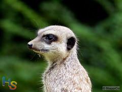 Kölner Zoo 021 - Erdmännchen (Stappi70) Tags: brd deutschland erdmännchen fauna köln kölnerzoo nordrheinwestfalen nrw tiere zoo zooköln zoologischergarten