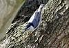 Sunshine on my Shoulders (mpalmer934) Tags: nuthatch bird tree bark sunlight