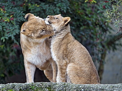 Lioness with daughter (Tambako the Jaguar) Tags: lion big wild cat female mother young cub funny biting neck sitting rock stone tree portrait basel zoo zolli switzerland nikon d5