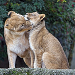 Lioness with daughter thumbnail