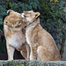 Lioness with daughter