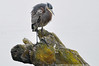 2013-10-26 Great Blue Heron (1024x680) (-jon) Tags: anacortes fidalgoisland sanjuanislands skagitcounty skagit washingtonstate washington marchpoint padillabay fidalgobay pugetsound salishsea bird heron greatblueheron ardeaherodias d90archives a266122photographyproduction