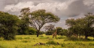 I can see giraffes