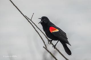 Red-winged Blackbird 500_6253.jpg