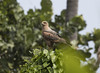 Trinidad (richard.mcmanus.) Tags: trinidad wildlif tropics hawk savannahawk birdofprey wildlife mcmanus richardmcmanus