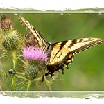 Tiger Swollow-tail on Thistle - I probably have at least a 'zillion' butterfly pics. thumbnail