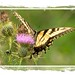 Tiger Swollow-tail on Thistle - I probably have at least a 'zillion' butterfly pics.