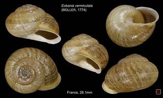 eobania vermiculata1 france apt 28mm1