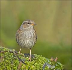 Dunnock (Charles Connor) Tags: dunnock gardenbirds birdphotography feathers detail backgroundblur naturephotography canon100400lens canon7dmk11
