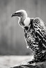Griffon Vulture-B&W 3-0 F LR 2-20-18 J038 (sunspotimages) Tags: vultures vulture griffonvulture griffonvultures wildlife nature zoo zoosofnorthamerica zoos monochrome blackandwhite bw h