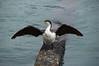 Shag (Leucocarbo) (Seventh Heaven Photography) Tags: shag bird akaroa christchurch south island new zealand aves nikond3200 phalacrocoracidae cormorant leucocarbo water rock black white