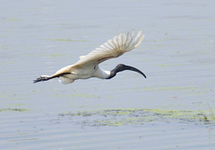 black-headed ibis (praveen.ap) Tags: blackheaded ibis black headed blackheadedibis vedanthangal kanchipuram tamilnadu vedanthangalbirdsanctuary oriental white orientalwhiteibis