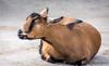 Just grin and bear it. (Pejasar) Tags: goat resting grinning pettingzoo tulsa oklahoma mammal zoosofnorthamerica
