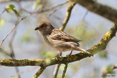 Moineau (Passion Animaux & Photos) Tags: moineau sparrow parc animalier saintecroix france
